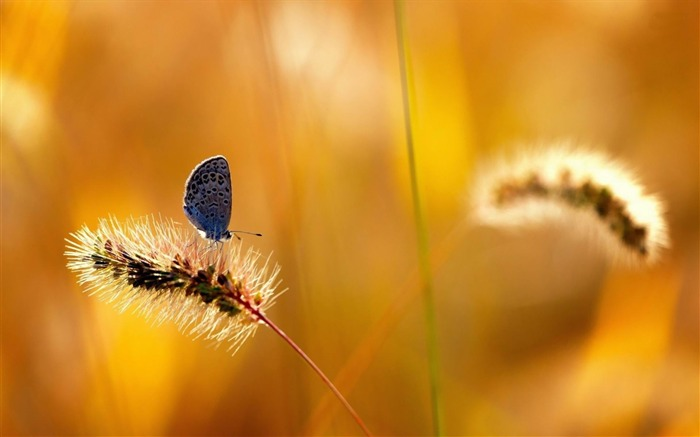 blue butterfly-ecological animal desktop wallpaper Views:4050