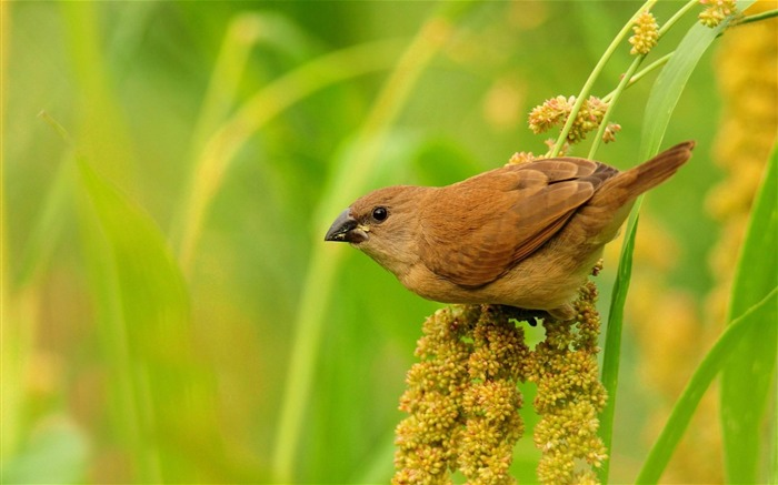 brown bird-ecological animal desktop wallpaper Views:3531