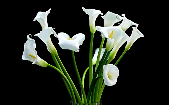 calla bouquet white-flowers photography HD Wallpaper Views:9585