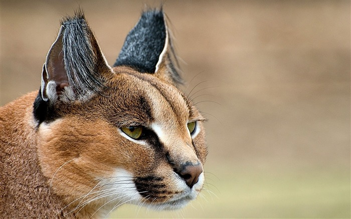 caracal look face predator ears-Natural animal Wallpaper Views:5482 Date:3/21/2013 11:05:30 AM