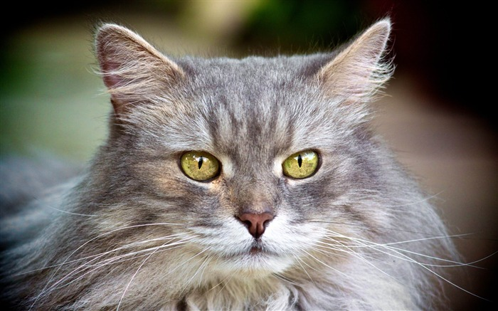 cat face furry gray-Animal HD wallpaper Views:3561