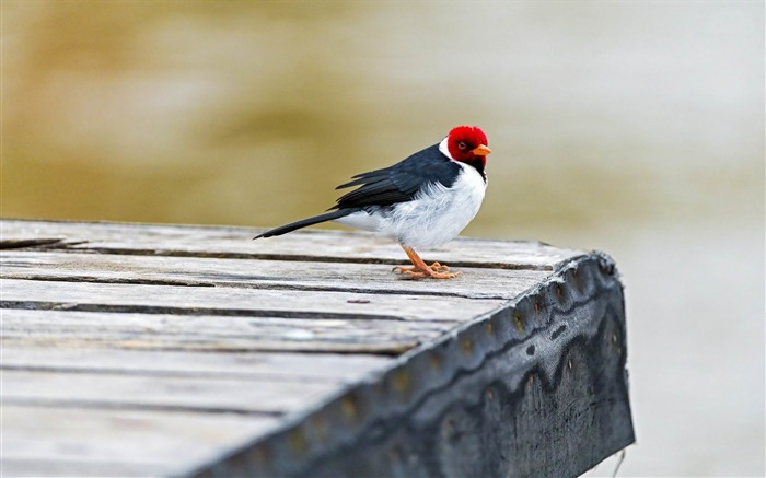 crested cardinal-ecological animal desktop wallpaper Views:3595
