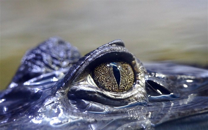 crocodile eyes dangerous-Animal HD wallpaper Views:5811