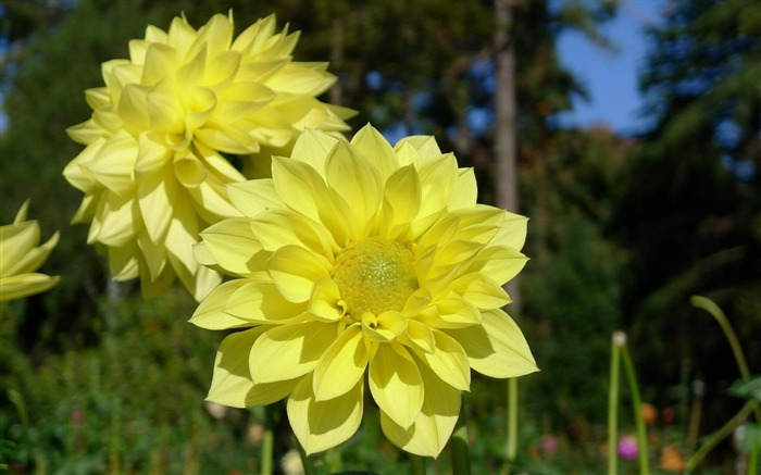 dahlias flower yellow-flowers photography HD Wallpaper Views:3986