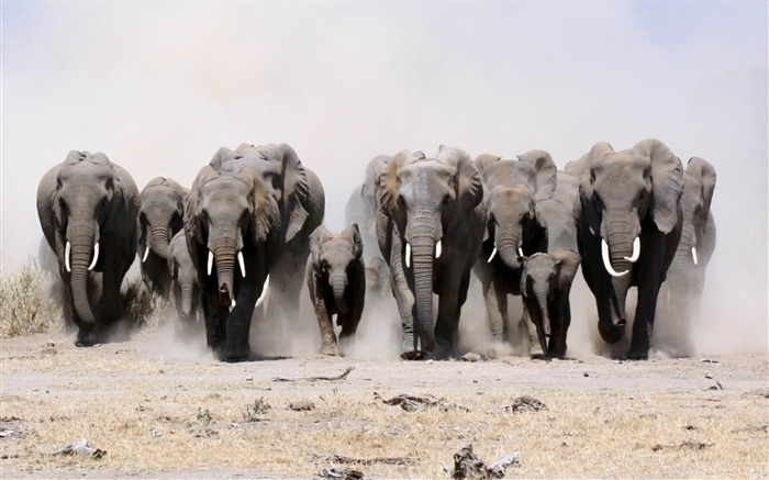elephants many sand dust run-Animal HD wallpaper Views:3793