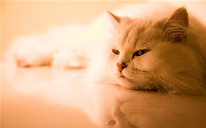 exotic white cat-Animal World HD wallpaper Views:4180