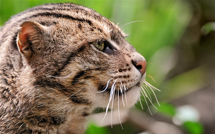fisher cat face profile spotted-Animal HD wallpaper Views:3531