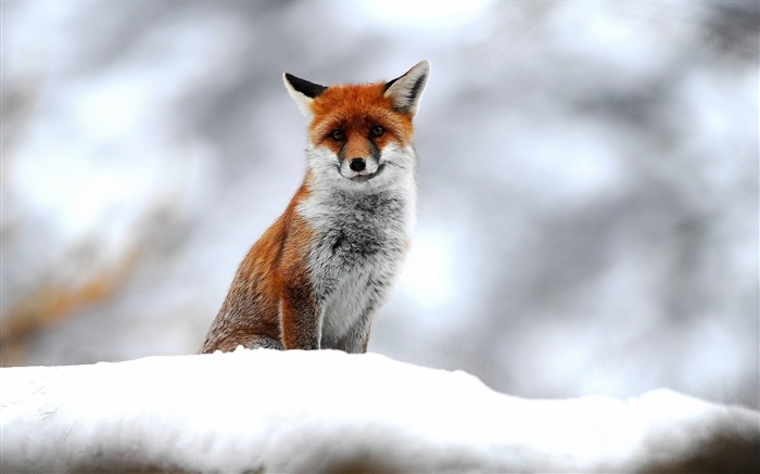 fox snow-Natural animal Wallpaper Views:7223 Date:3/21/2013 11:10:30 AM