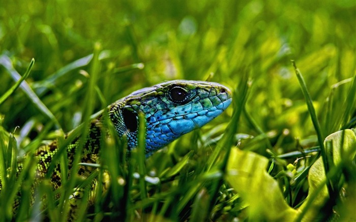 green blue lizard-Animal World HD wallpaper Views:3186