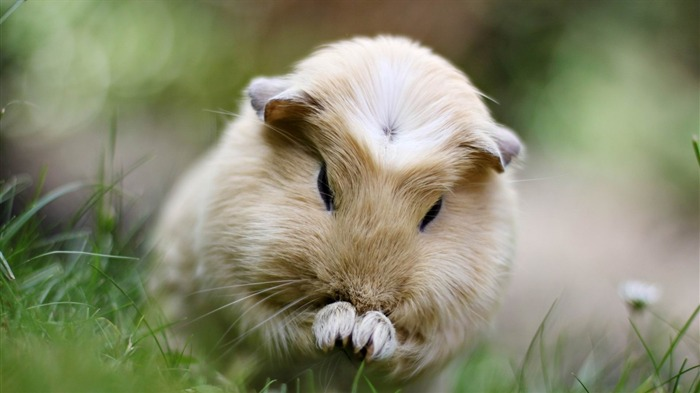 guinea pig grass sit fluffy beautiful-Animal HD wallpaper Views:3288