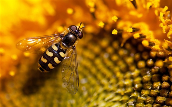 hoverfly-ecological animal desktop wallpaper Views:3324