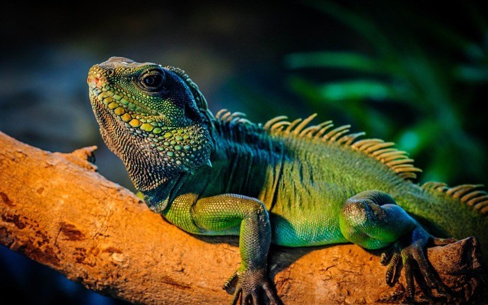 iguana-Animal World HD wallpaper Views:3521
