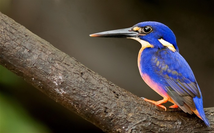 kingfisher bird-Natural animal Wallpaper Views:5222 Date:3/21/2013 11:13:58 AM