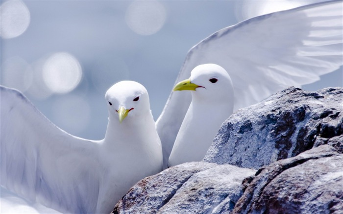 kittiwakes-ecological animal desktop wallpaper Views:3564