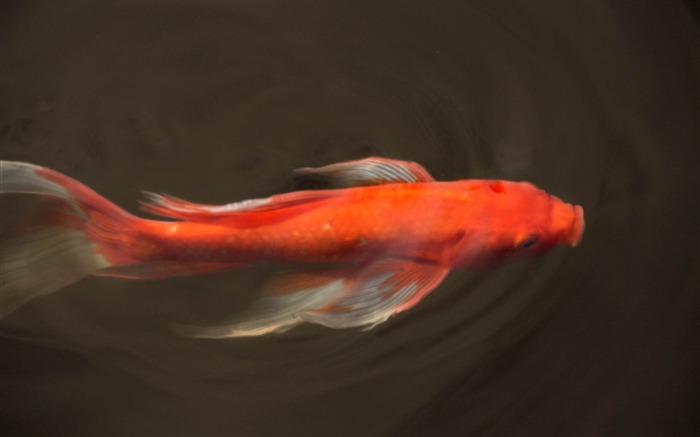 koi fish-Animal World HD wallpaper Views:7107