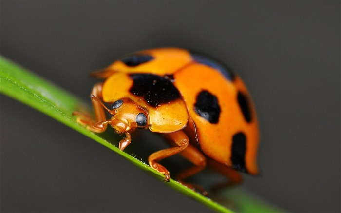 ladybug-ecological animal desktop wallpapers Views:3170