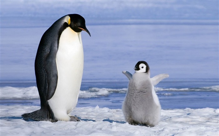 penguin-ecological animal desktop wallpapers Views:15432