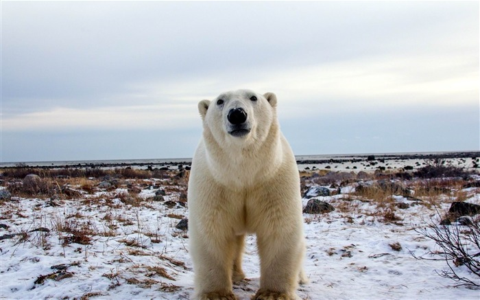 polar bear face eyes-Animal HD wallpaper Views:3401