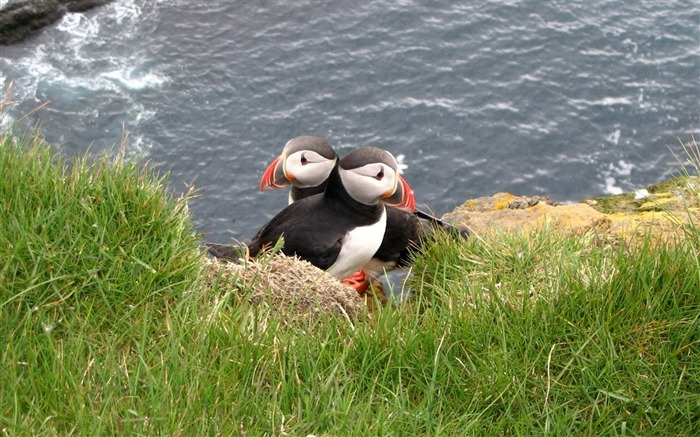 puffin couple bird grass-Animal HD wallpaper Views:4529