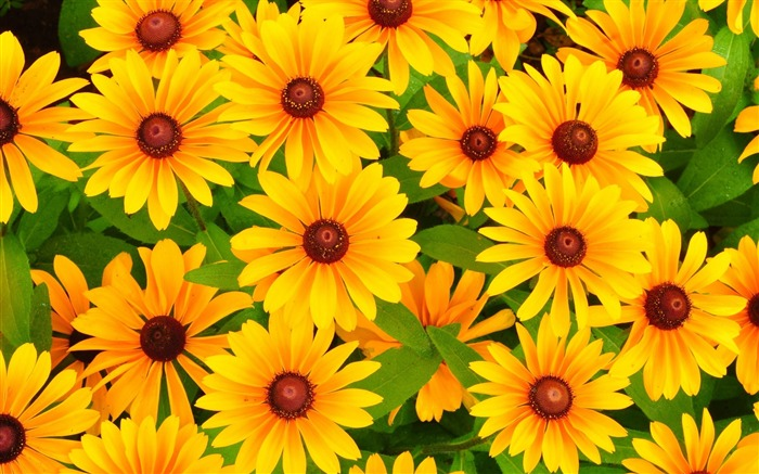 rudbeckia flowers-flowers photography HD Wallpaper Views:4007