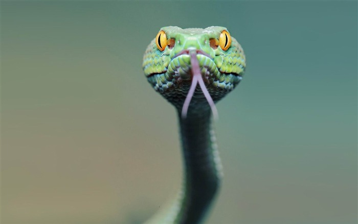 snake face tongue-Animal HD wallpaper Views:2383