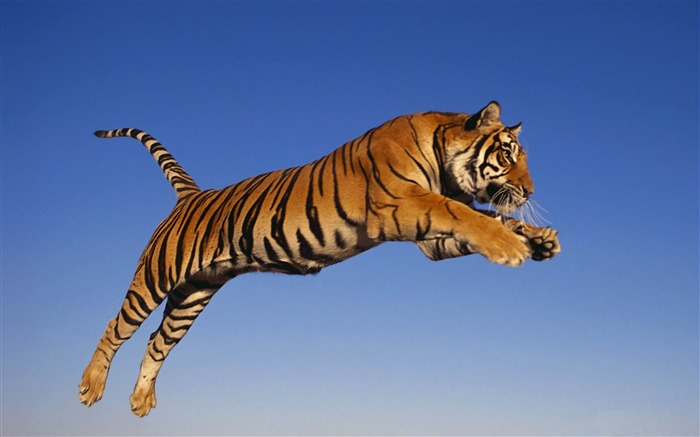 tiger jump predator-Animal HD wallpaper Views:12538