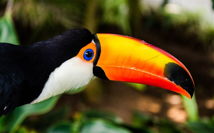 toucan-ecological animal desktop wallpapers Views:3764