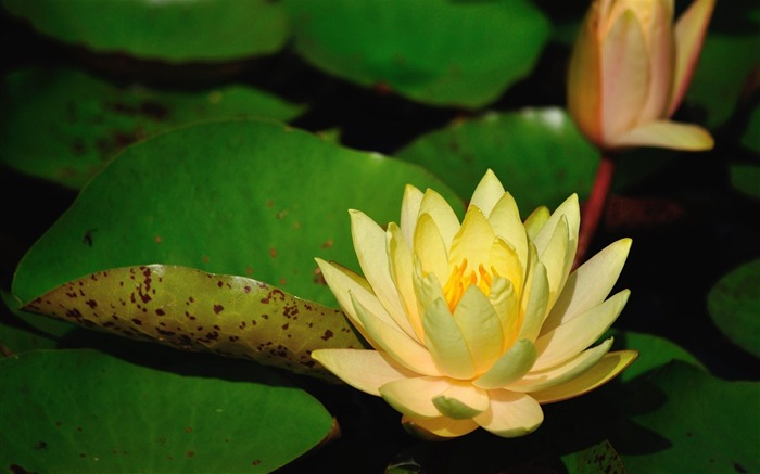 water lilies yellow-flowers photography HD Wallpaper Views:4214