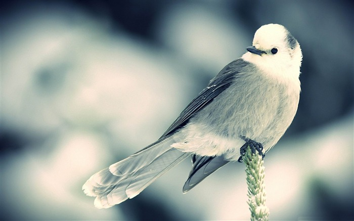 white little bird-Animal World HD wallpaper Views:3407