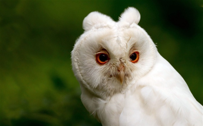 white owl-Natural animal Wallpaper Views:6957 Date:3/21/2013 11:12:10 AM