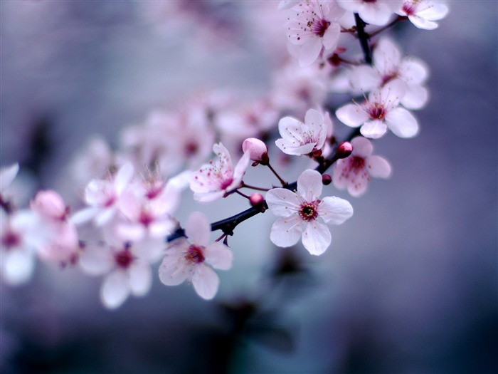 2013 cherry blossom season in Japan photography Wallpaper 02 Views:4311