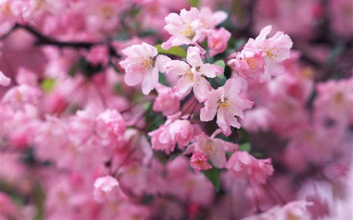 2013 cherry blossom season in Japan photography Wallpaper 09 Views:3564