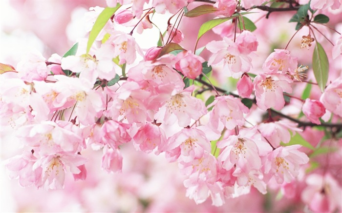 2013 cherry blossom season in Japan photography Wallpaper 13 Views:3885