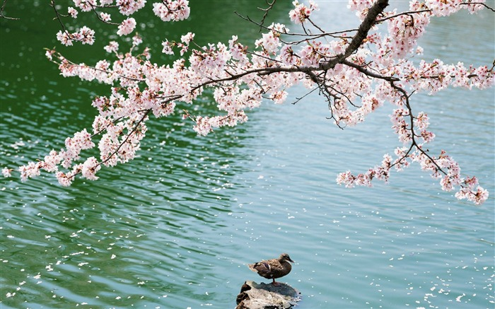 2013 cherry blossom season in Japan photography Wallpaper 15 Views:5391