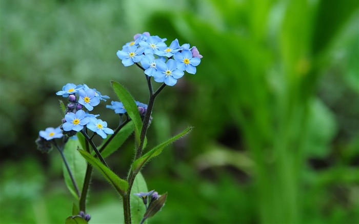 Blue forget me-flower photography wallpaper Views:2275