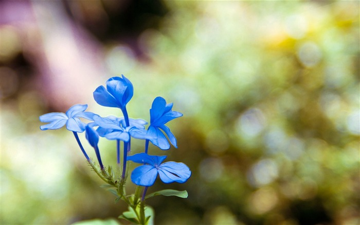 Blue wildflowers Macro-flower photography wallpaper Views:2918