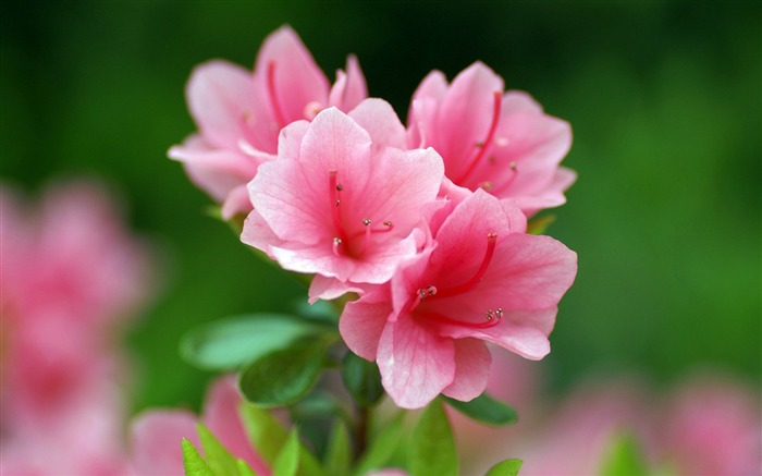 Pink azaleas-flower photography wallpaper Views:2943