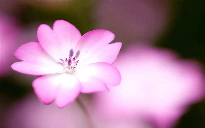 Pink flowers macro-flower photography wallpaper Views:3568