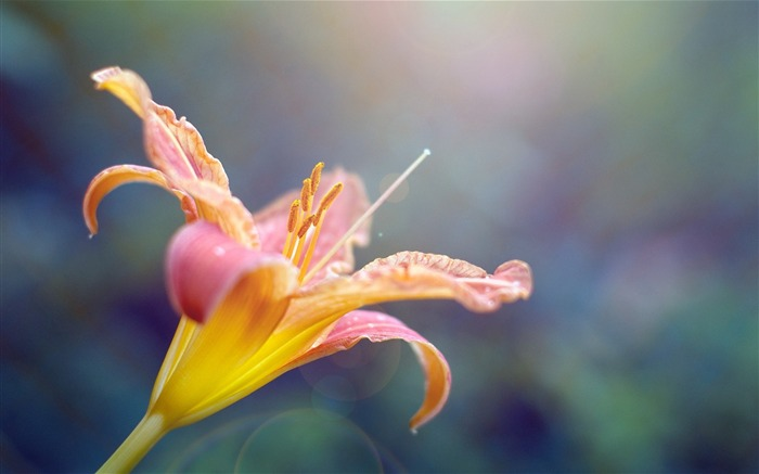 Pink lily Macro-flower photography wallpaper Views:3599