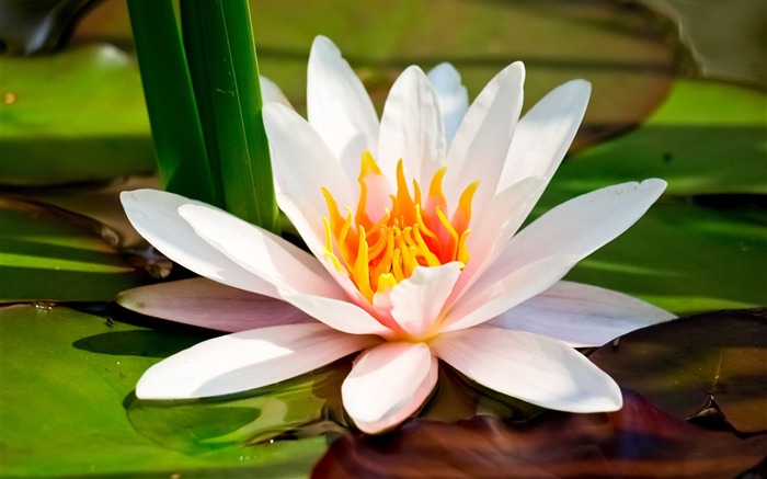 White Lotus-flower photography wallpaper Views:3505