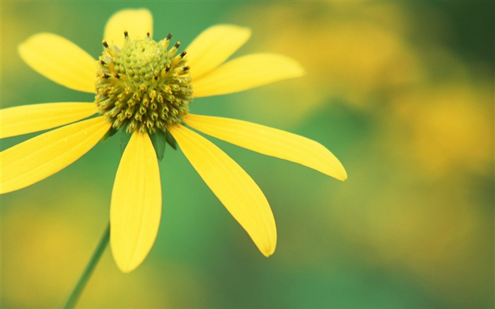 Yellow flowers-flower photography wallpaper Views:3239