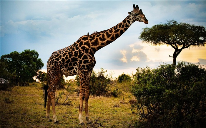 africa giraffe-Animal world photography wallpapers Views:3780