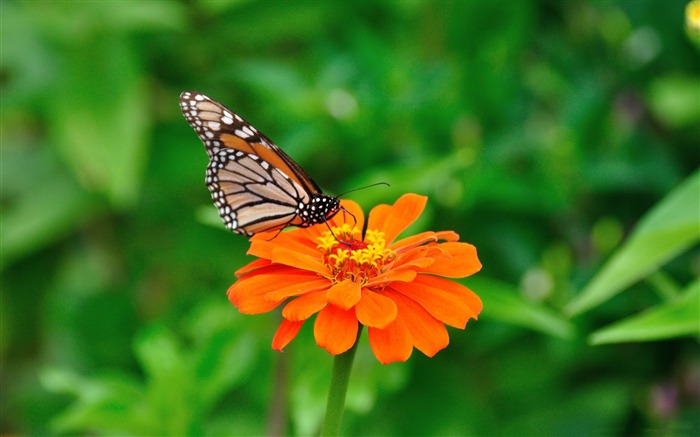 butterfly and flower-Animal world photography wallpapers Views:3558