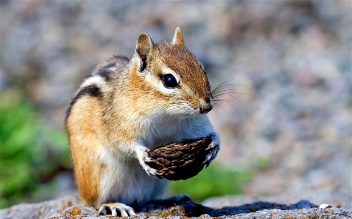 chipmunk-Animal world photography wallpapers Views:4117