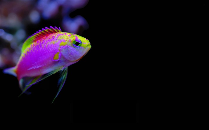 colorful tropical fish-Animal world photography wallpapers Views:25601