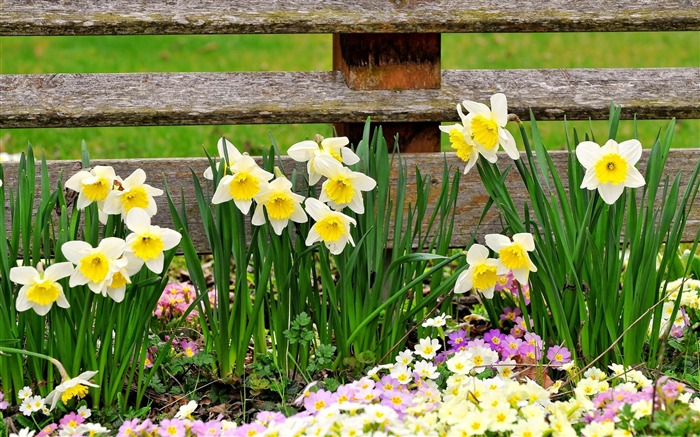 daffodils primroses flowers fence-Beautiful flowers HD wallpaper Views:5644