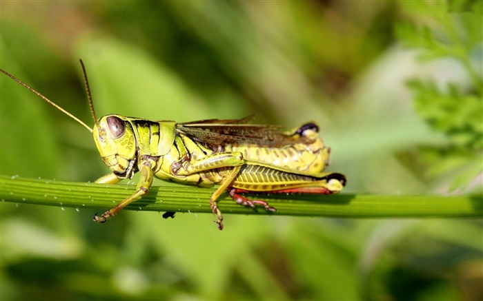 grasshopper-Animal world photography wallpapers Views:3325