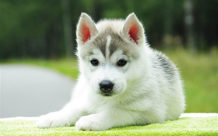 husky puppy-Animal world photography wallpapers Views:12952