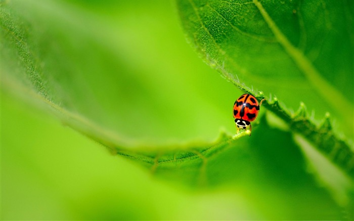 ladybug on a green leaf-Animal world photography wallpapers Views:2867