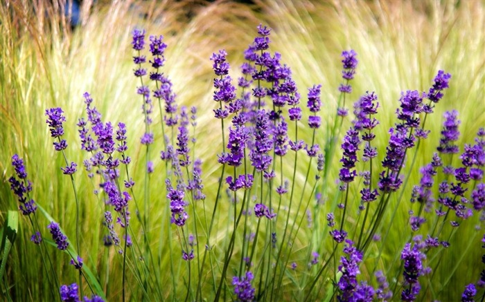 lavender field blur sharpen-Beautiful flowers HD wallpaper Views:6041